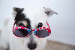 Cute puppy with shades